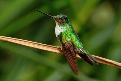 Wall mural Collared Inca, Coeligena torquata, hummingbird from Mindo forest, bird of Ecuador