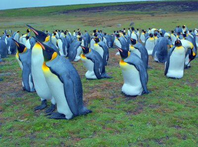 Wall mural Colony of emperor penguins on Falkland islands