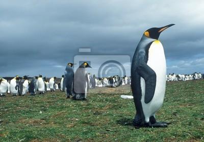 Colony of emperor pinguins