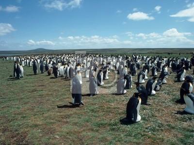 Colony penguins