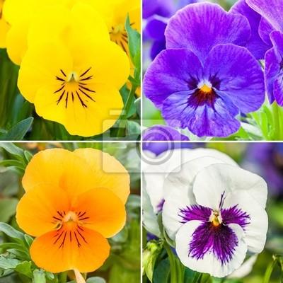 Color pansies