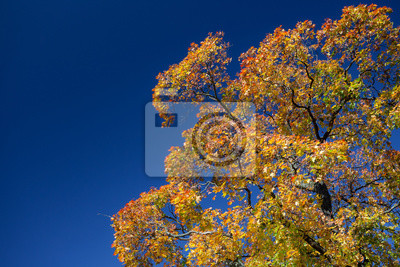 Colorful maple tree against blue sky