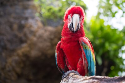 Wall mural Colorful parrot, Macaw bird