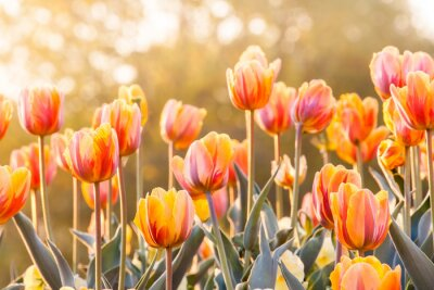 Wall mural Colorful tulips