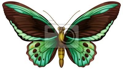 Common green birdwing