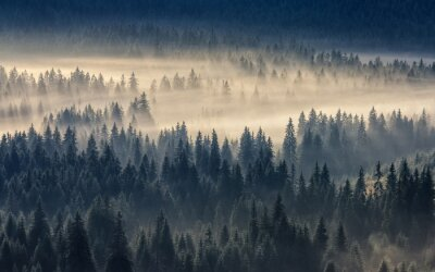 Wall mural coniferous forest in foggy mountains