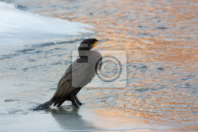 Cormorant in winter