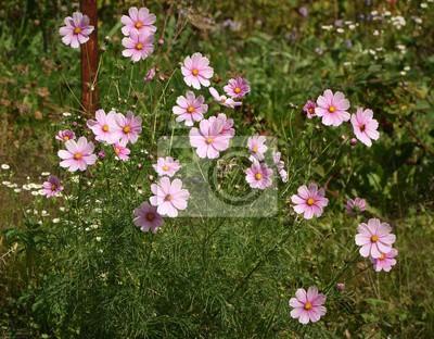 cosmos ...floraison
