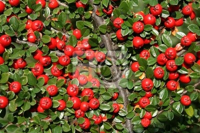 Cotoneaster bush background. Red fruits and green leaves.