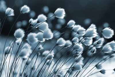Wall mural Cotton grass on the lake on a summer evening