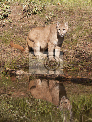 Cougar by Lake with Reflection