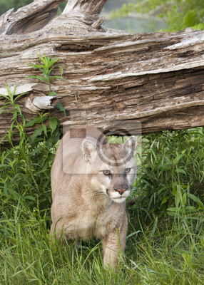 Wall mural Cougar coming out of den