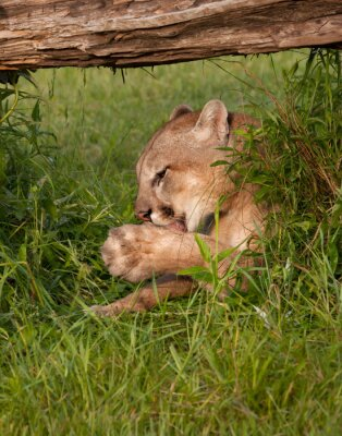 Cougar Licking its Paws