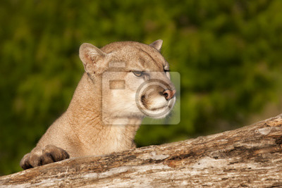 Wall mural Cougar Peeking over the Side of a Log