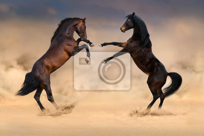 Couple of bay horse rearing up