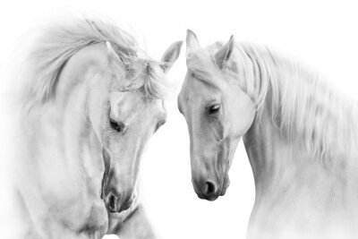 Wall mural Couple of white horse on white background
