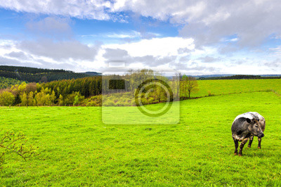 Cow Grazing in the Green Grass