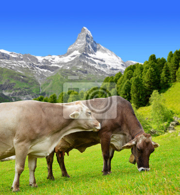 Cow grazing in the meadow. In the background of the Matterhorn - Pennine Alps, Switzerland