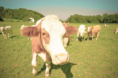 Cow looks into the lens
