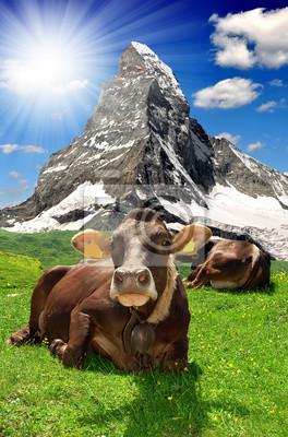 Cow lying in the meadow.In the background Matterhorn-Swiss Alps