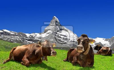 Cow lying in the meadow - Swiss Alps