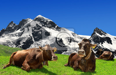 Cow lying on the meadow in the Swiss Alps