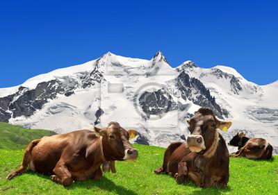 Cow lying on the meadow -Swiss Alps