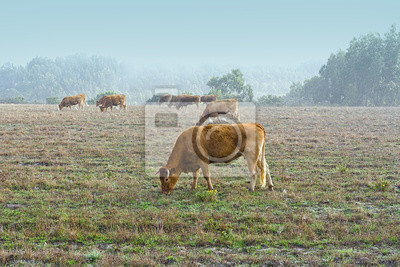 Cows at Misty Morning