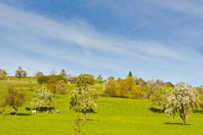 Cows, meadow and flowering trees in Switzerland
