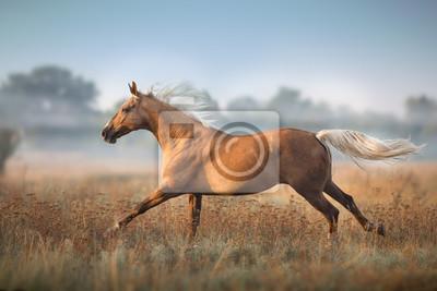 Cream horse in motion in fog morning at sunlight