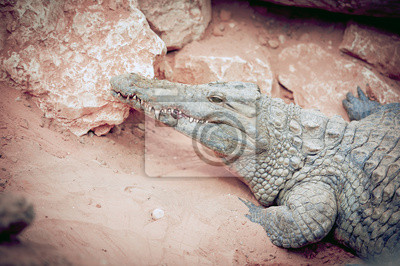 Wall mural Crocodile du Nil