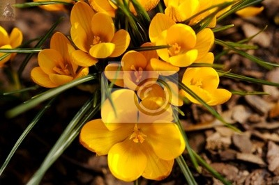 crocus 005 yellow