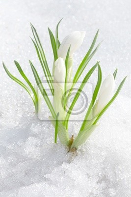 Wall mural Crocus flowers, spring snowdrops buds in snow