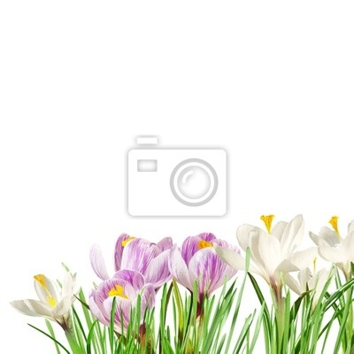 crocuses in the grass