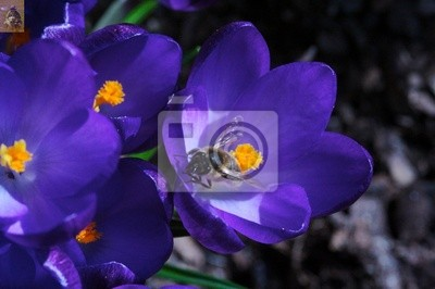 crocusses and bee 4