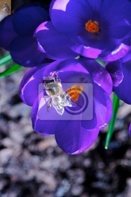 crocusses and bee 7