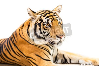 Wall mural Crouching young siberian tiger isolated on white background