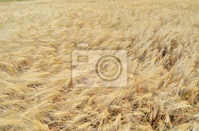Wall mural Culture du blé