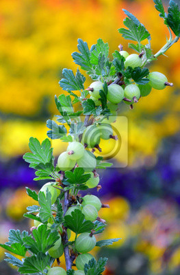currant and gooseberries