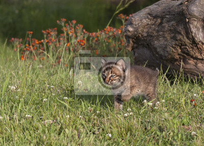 Cute Bobcat Kitten in a Meadow with Wildflowers in the Background