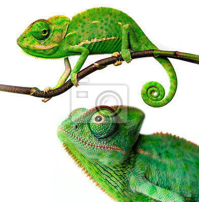 Wall mural cute funny chameleon - Chamaeleo calyptratus on a branch
