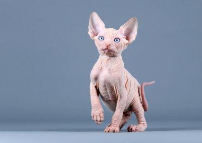 Wall mural Cute kitten sphynx