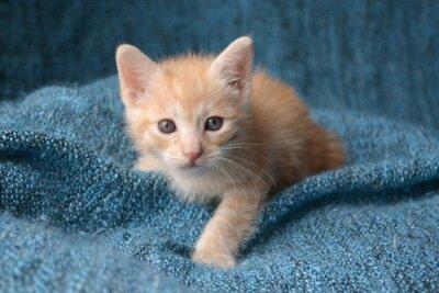 Wall mural Cute little kitten on blue blanket background