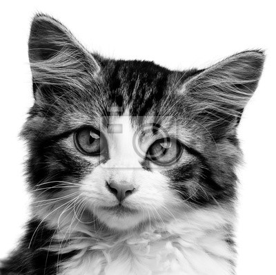 cute little long haired maine cat