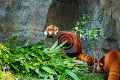 Wall mural Cute red panda eating bamboo