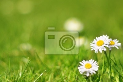 Daisies on the lawn