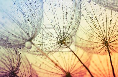 dandelion flower background