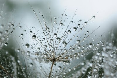 Wall mural dandelion seeds with drops