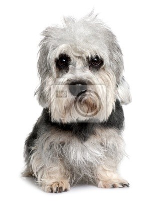 Wall mural Dandie Dinmont Terrier, sitting in front of white background