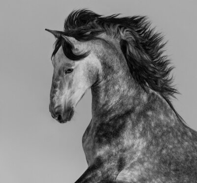 Wall mural Dapple-grey Andalusian stallion - portrait in motion